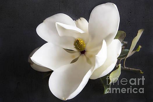 Elena Nosyreva - Magnolia flower