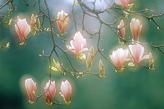 Magnolia flowers by David Nunuk
