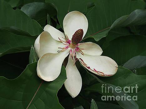 Magnolia  by Jacklyn Duryea Fraizer