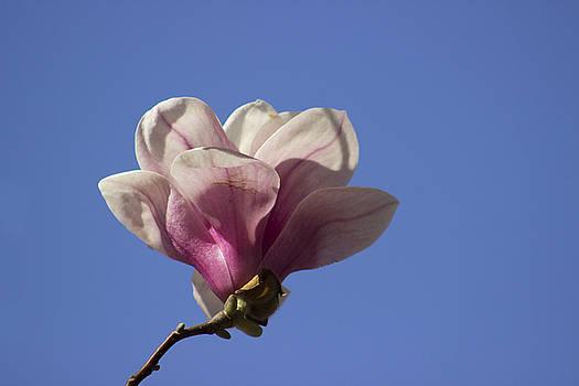 Magnolia on Blue by Mark Michel