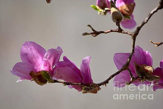 Magnolia Opening by Brenda Bostic