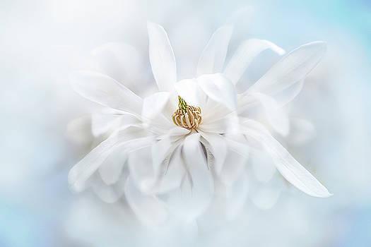 Magnolia Stellata by Jacky Parker