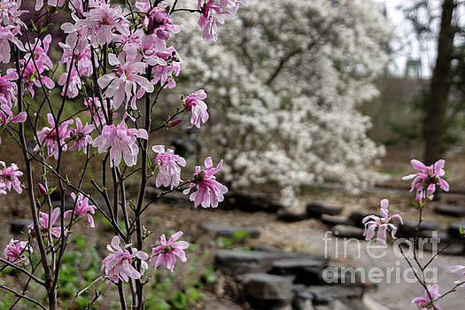 Magnolia Trees by Tina Hailey