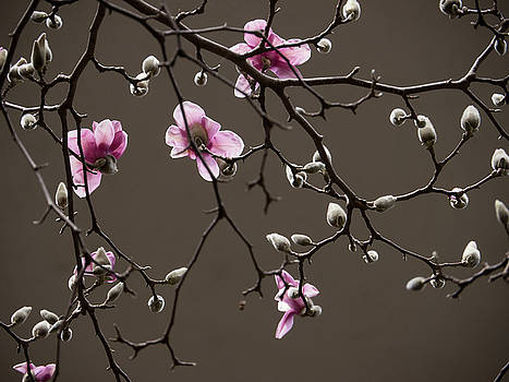Magnolias in Bloom by Rob Amend