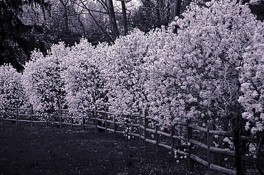 Magnolias in Llewellyn Park, West Orange, New Jersey by Yuri Lev