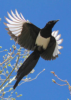Magpie Ascends by Amy G Taylor