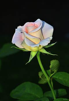 Maid Of Honour Rose 001 by George Bostian