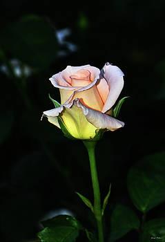 Maid Of Honour Rose 002 by George Bostian