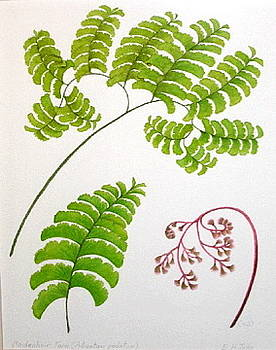 Maidenhair Fern by Elizabeth H Tudor