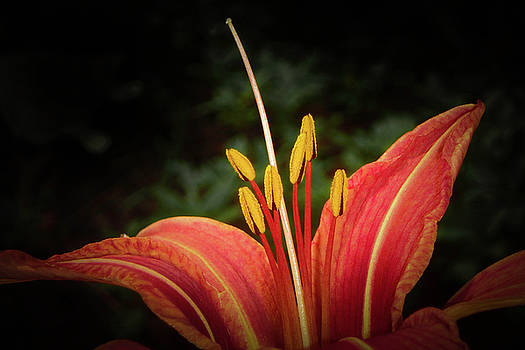 Majestic Lily by Judy Hall-Folde
