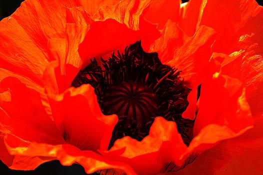 Majestic Poppy by Baggieoldboy