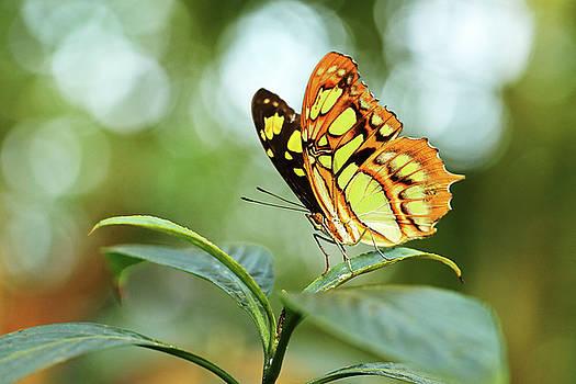 Malachite Butterfly by Grant Glendinning