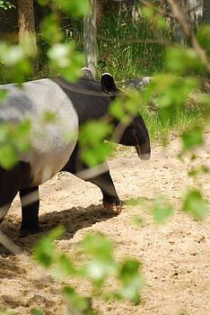 Malayan Tapir by Ramona Whiteaker