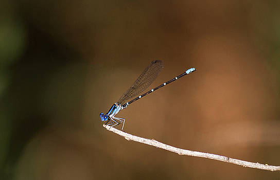 Male Blue ringed-dancer by Ruth Jolly