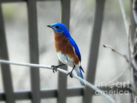 Male Bluebird by Brenda Bostic