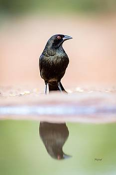 Male Bronzed Cowbird by Fred J Lord