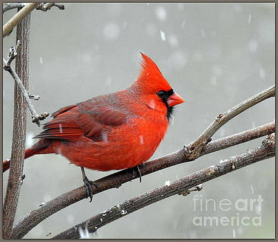 Male Cardinal Puffed Up by Brenda Bostic