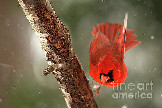 Male Cardinal Take Off by Darren Fisher