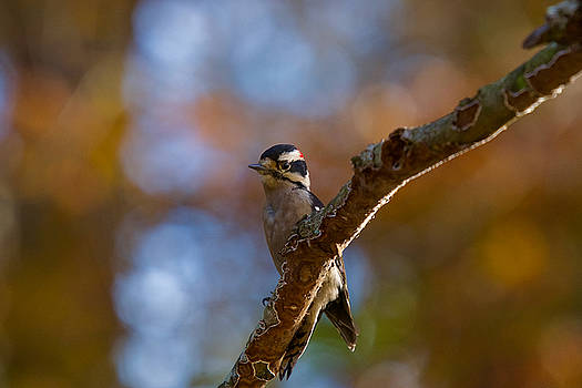 Male Downy Woodpecker by Robert L Jackson