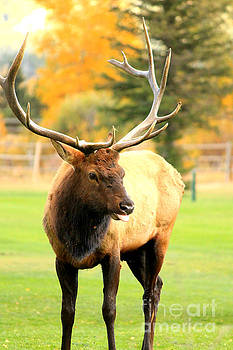 Male Elk With Tongue Out by Teresa Thomas