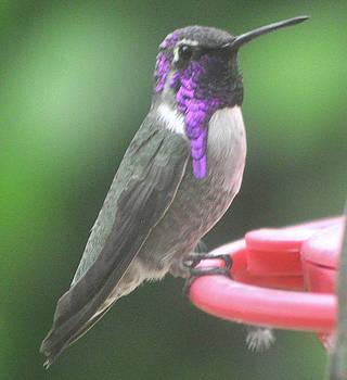 Male Hummingbird Anna's On Feeder Perch by Jay Milo