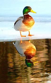 Male Mallard Reflection by Sheila Price
