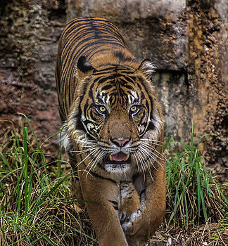 Male Tiger on the hunt by Tito Santiago