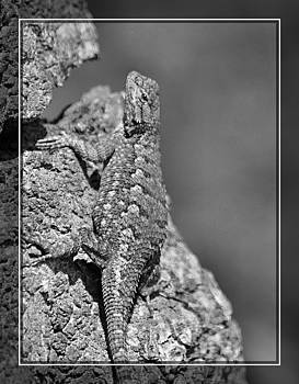 Cindy Nunn - Male Western Fence Lizard 1