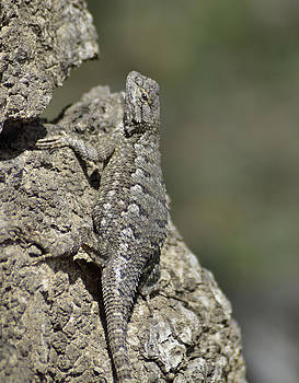 Cindy Nunn - Male Western Fence Lizard 2