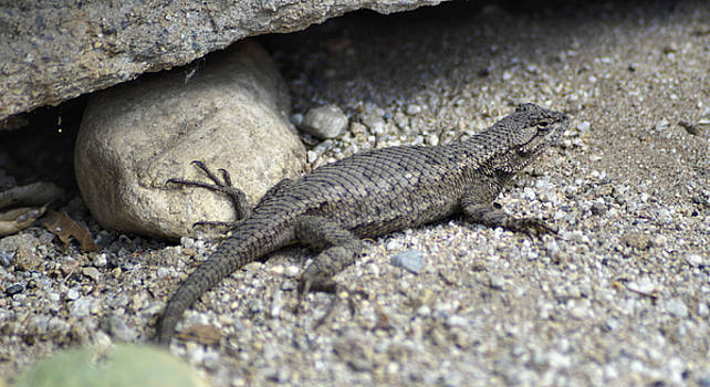 Cindy Nunn - Male Western Fence Lizard 3