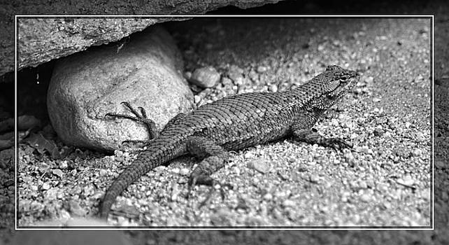 Cindy Nunn - Male Western Fence Lizard 4