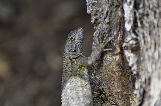 Cindy Nunn - Male Western Fence Lizard 5