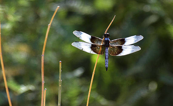 Male Widow skimmer on a stick  by Ruth Jolly
