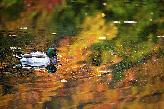 Karol Livote - Mallard In Autumn