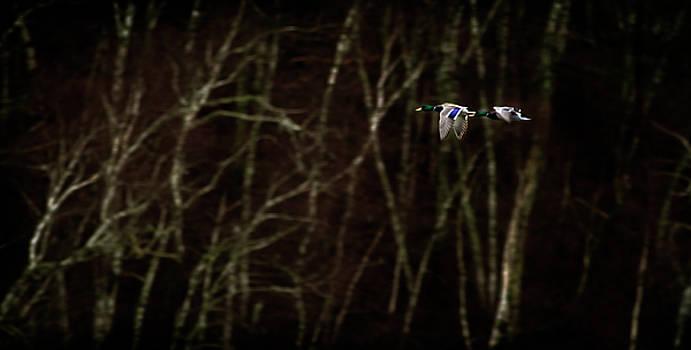 Mallards in Flight by Patrick Ziegler