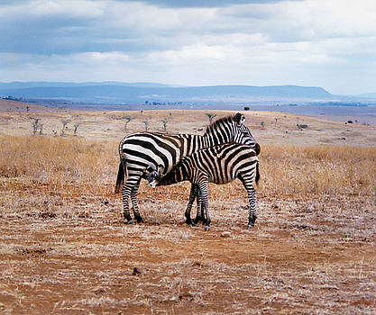 Mama Zebra feeding her young by Steppeland -