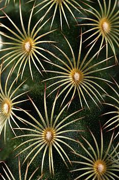 mammillaria elongata Cactus  by Catherine Lau