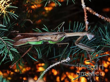 Mantis  by J L Zarek