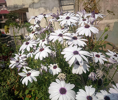 Many white Daisy flowers looking beautiful  by Ashish Agarwal