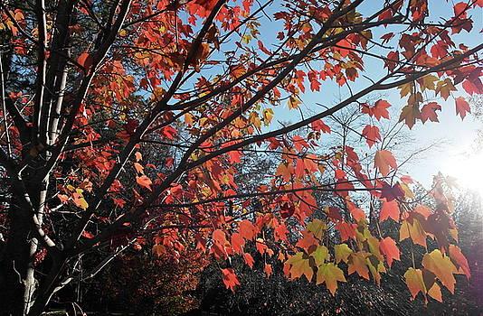 Maple Evening Illuminations by Michele Myers