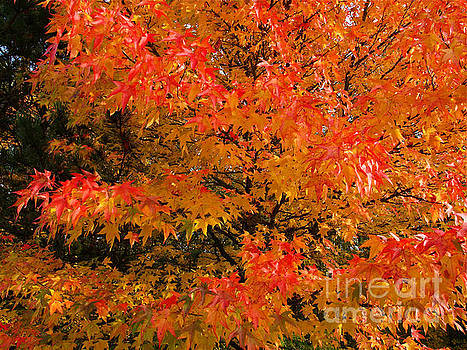 Maple Flames by Alex Cassels