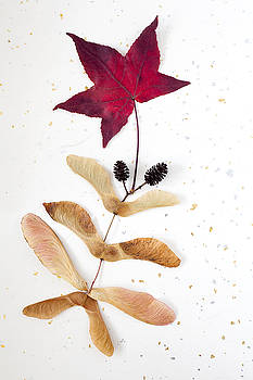 Maple Leaf and Seeds by Bernice Williams