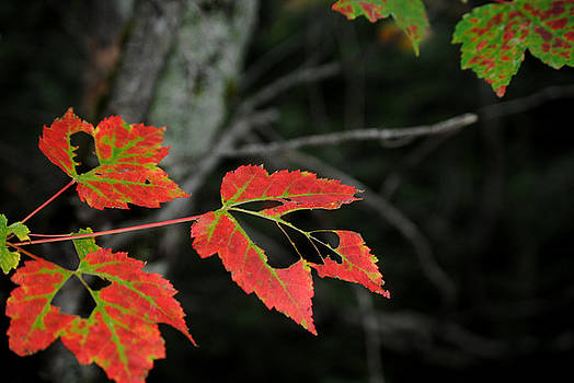 Maple Leaves by Steven Scott