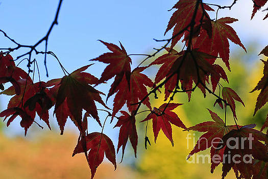 Maples Beauty by Tracy  Hall