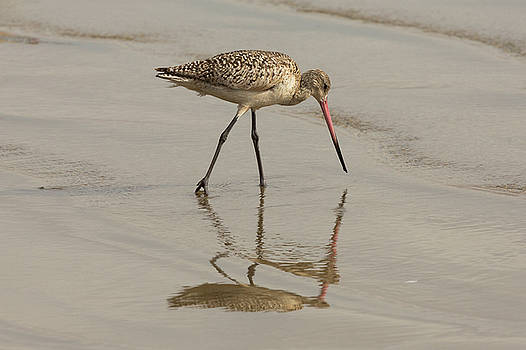 Marbled Godwit and Reflection 1 by John Daly