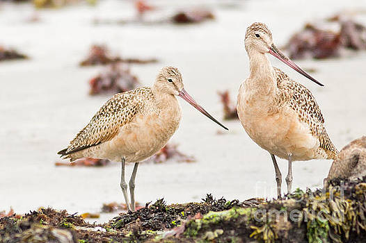 Marbled Godwit Duo by Natural Focal Point Photography