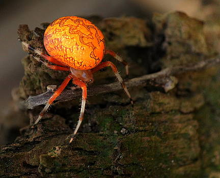 Rosanne Jordan - Marbled Orb Weaver Spider