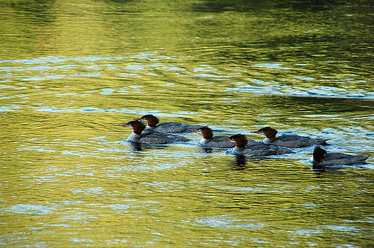 Donna Blackhall - March Of The Mergansers