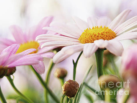 Marguerite On A Crisp Spring Day by Dorothy Lee