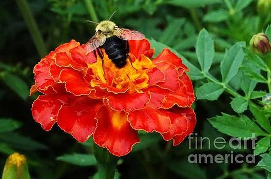 Marigold Bee by J L Zarek